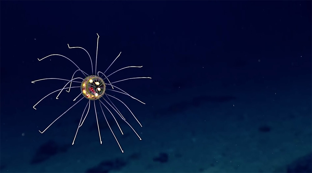 New species of surreal jellyfish discovered in Enigma Seamount New-jellyfish-mariana-trench