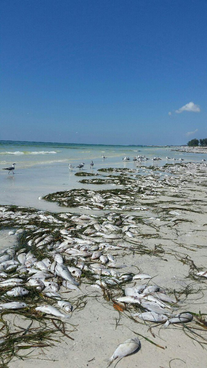 florida red tide, red tide florida, red tide fish kills florida, florida red tide fish kills