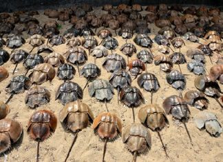 horseshoe crabs, horseshoe crabs die-off japan, horseshoe crabs fukushima, horseshoe crabs fuku disaster, horseshoe crabs mysteriously die in Kita-Kyushu