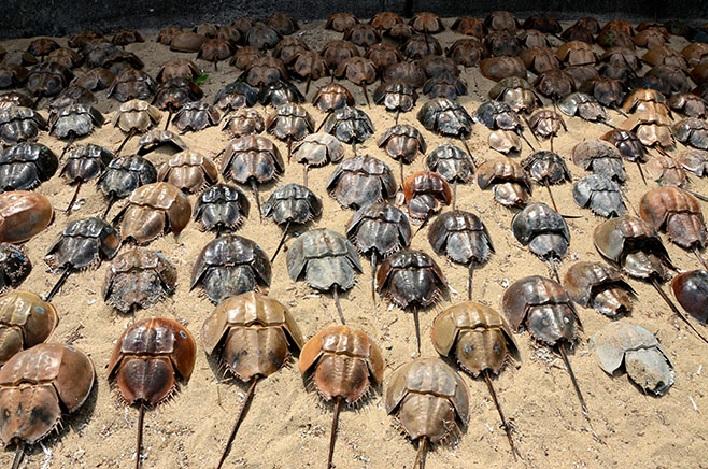horseshoe crabs, horseshoe crabs die-off japan, horseshoe crabs fukushima, horseshoe crabs fuku disaster, horseshoe crabs mysteriously die in Kita-Kyushu