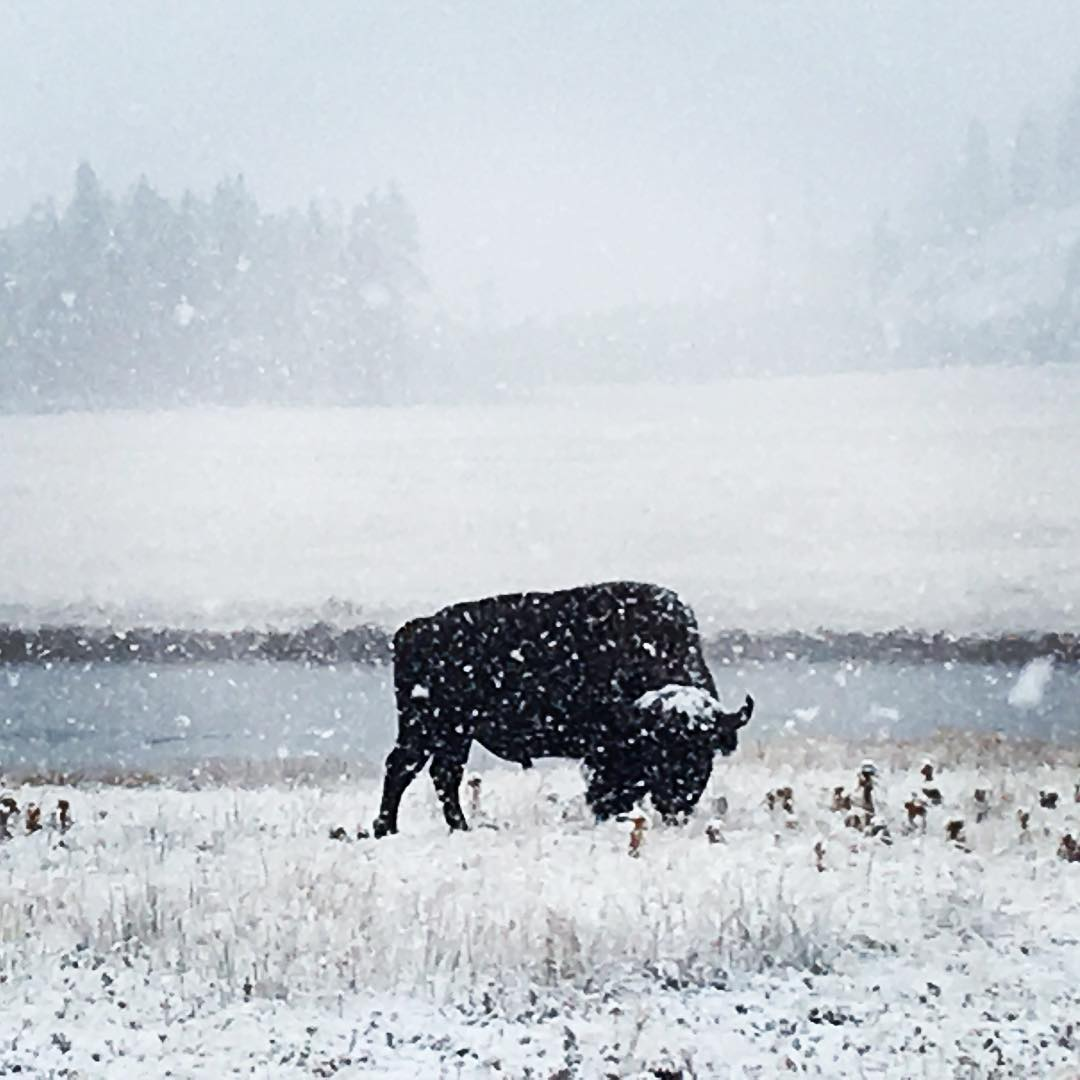 snowstorm yellowstone, yellowstone blizzard, snowstorm yellowstone september 2016, snowstorm yellowstone pictures, snowstorm yellowstone video
