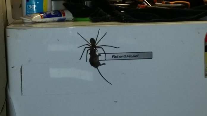giant spider mouse australia video, giant spider mouse australia photo, giant spider mouse australia, enormous spider drags up mouse on fridge in australia, giant spider australia mouse, spider mouse australia, giant spider mouse australia video