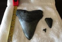 megalodon tooth north carolina matthew, Massive million-year-old shark tooth washes ashore after Hurricane Matthew, megalodon teeth, megalodon tooth north carolina, megalodon tooth north carolina after hurricane matthew