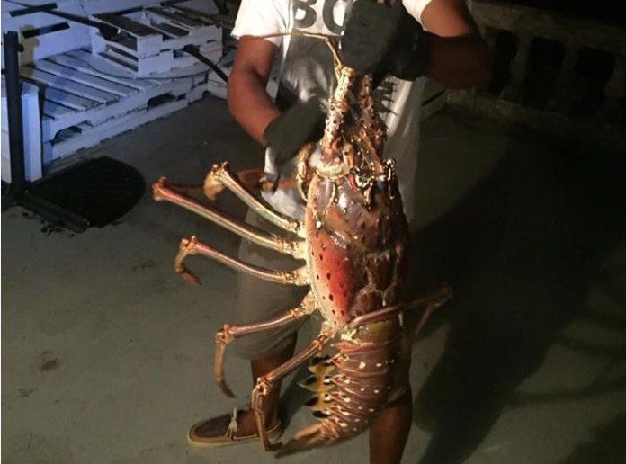 monster lobster bermuda, monster lobster bermuda video, monster lobster bermuda picture, monster lobster bermuda photo, bermuda giant lobster, bermuda lobster
