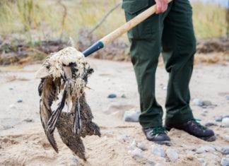 botulism lake michigan, , 5000 birds mysteriously diying in lake michigan, Toxin kills thousands of birds along Lake Michigan shoreline, botulism Toxin kills thousands of birds along Lake Michigan shoreline,