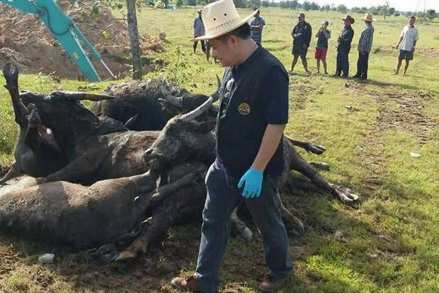 buffalo die-off thailand, mass die-off, animal die-off, mysterious animal die-off, animal mass die-off