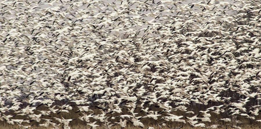 butt snow geese die-off, snow geese die-off butt, butte geese die-off