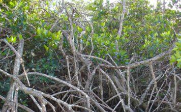 mangrove, mangrove tsunami, mangrove tsunami protection, magrove forest against tsunami, mangroves protect us from tsunami, magrove tsunami protection video