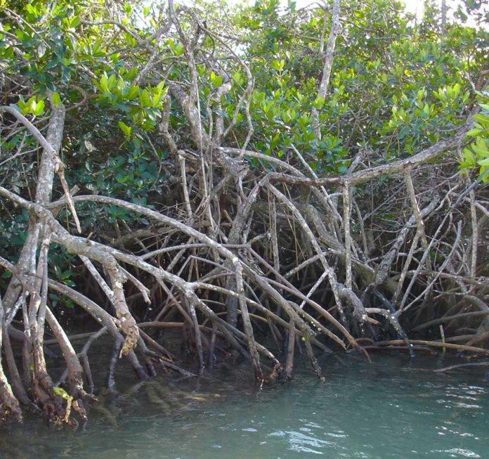 mangrove, mangrove tsunami, mangrove tsunami protection, magrove forest against tsunami, mangroves protect us from tsunami, magrove tsunami protection video