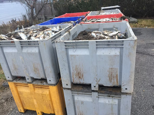 millions dead fish southampton new york, millions dead fish southampton, millions dead fish southampton new york video, millions dead fish southampton new york pictures