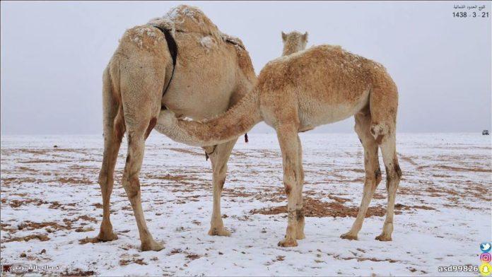 snow saudi arabia, snow saudi arabia december 2016, snow covers desert saudi arabia, saudi arabia snow, saudi arabia snow december 2016, saudi arabia snow dec 2016 video, saudi arabia snow dec 2016 pictures
