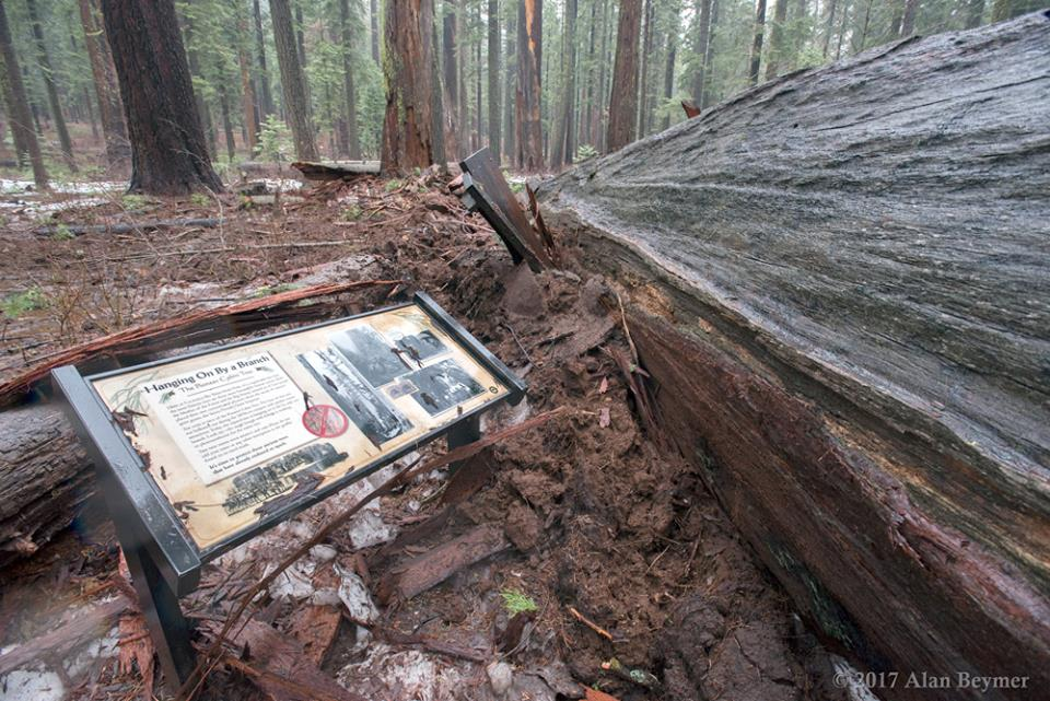 pioneer cabin tree, pioneer cabin tree collapse, pioneer cabin tree uprooted, pioneer cabin tree toppled, pioneer cabin tree collapse january 2017, california storm, california storm pioneer cabin tree collapse, The iconic Pioneer Cabin Tree collapsed during the latest California storms in January 2017