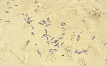 australia die-off, australia fish die-off, Many thousands of fish, thought to be a small species of leatherjacket, have washed up dead along the Cooloola Coast.