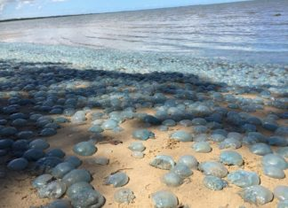 jellyfish australia, jellyfish mass die-off australia, australia jellyfish die-off, Sand beaches turned blue aftaer thousands of jellyfish washed up overnight in February 2017 in Australia.