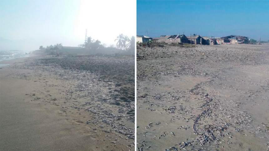 colombia die-off, colombia fish die-off, Thousands of dead fish were found on a 4-km beach in Colombia. via El Heraldo