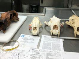 huge polar bear skull alaska, weasel bear, huge polar bear skull alaska weasel bear discovery, giant polar bear skull discovered, discovery giant polar bear skull alaska