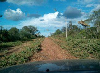locust plague paraguay, locust plague paraguay video, locust plague paraguay picture, locust plague paraguay february 2017, Invasión de langostas en La Patria, Chaco Paraguayo