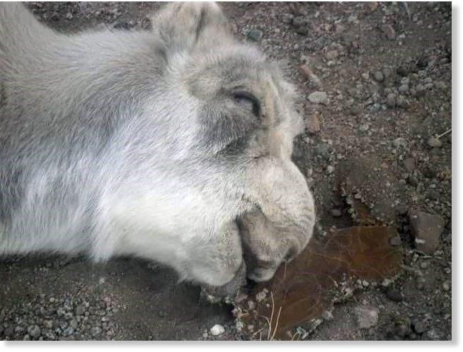 saiga antelopes mass die-off mongolia, saiga antelopes mass die-off mongolia 2017, saiga antelopes mass die-off mongolia february 2017, saiga antelopes mass die-off mongolia pictures, saiga antelopes mass die-off mongolia video