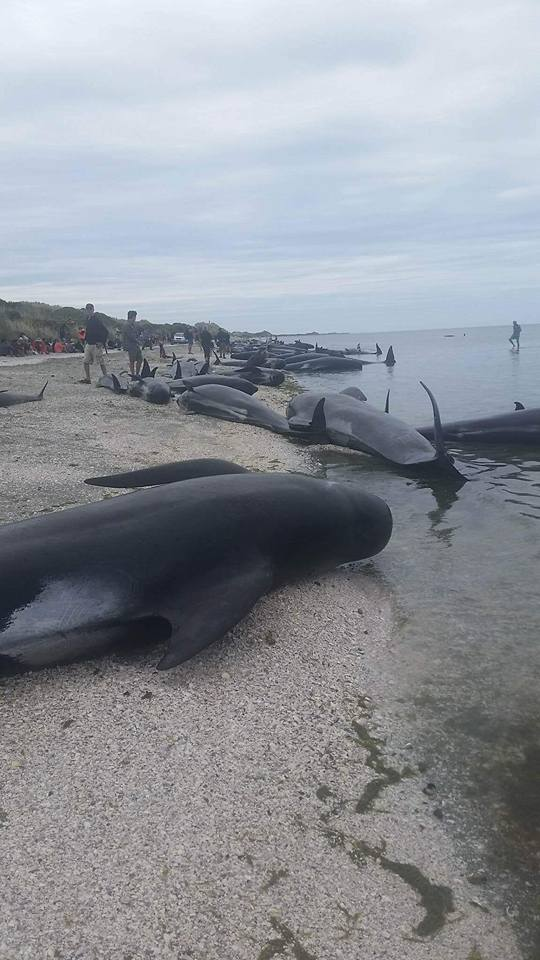 whale die-off new zealand, whale die-off new zealand february 2017, whale die-off new zealand february 2017 pictures, whale die-off new zealand february 2017 video