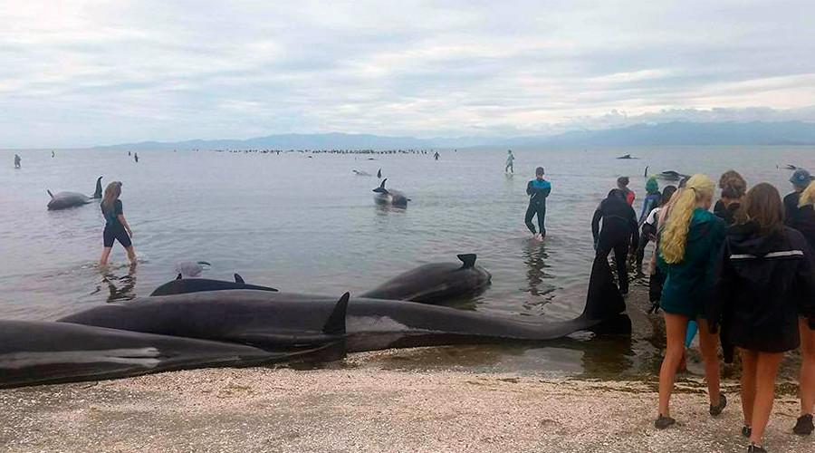 whale die-off new zealand, whale die-off new zealand february 2017, whale die-off new zealand february 2017 pictures, whale die-off new zealand february 2017 video