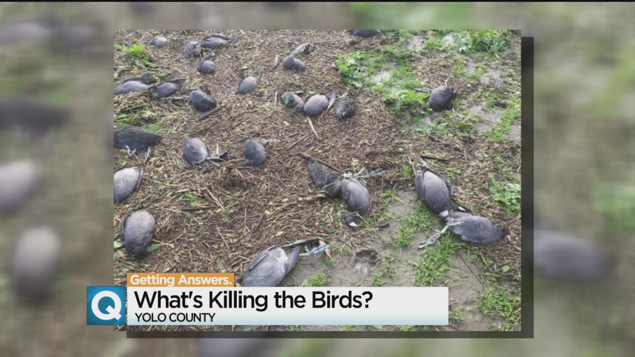 yolo dead birds, 4,000 Birds Die In The Yolo Bypass, yolo bird mass die-off, dead birds yolo, dead birds california sacramento, , Why Did Nearly 4000 Birds Die In The Yolo Bypass