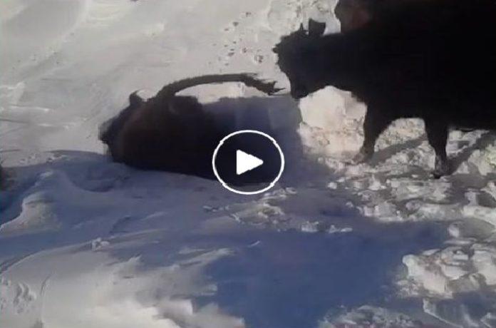 cow snow tunnel kazakhstan, cow snow tunnel kazakhstan video, cow snow tunnel video, cows go through snow tunnels in Kazakhstan, cow snow tunnels march 2017 video