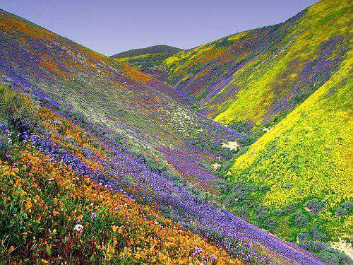 Super bloom, 2017 Super bloom, Super bloom 2017 california, california super bloom picture 2017, flower bloom california desert 2017, Flowers are erupting in the California desert, flowers california desert 2017 pictures