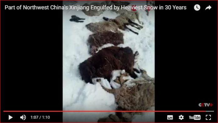 heaviest snowfall china, Part of Northwest China's Xinjiang Engulfed by Heaviest Snow in 30 Years Part of Northwest China's Xinjiang Engulfed by Heaviest Snow in 30 Years video