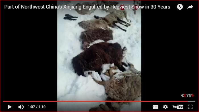 heaviest snowfall china, Part of Northwest China's Xinjiang Engulfed by Heaviest Snow in 30 Years Part of Northwest China's Xinjiang Engulfed by Heaviest Snow in 30 Years video