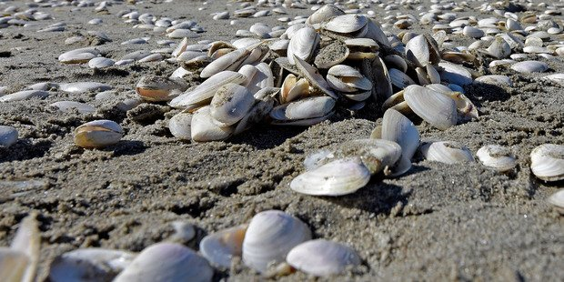 millions shellfish die new zealand, Cause of mass shellfish die-off remains unknown, mysterious shellfish mass die-off new zealand march 2017, millions shellfish die new zealand video, video millions shellfish die new zealand