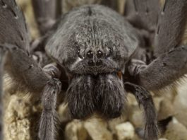baseball-sized spider discovered in baja california Mexico, Baseball-sized spider discovered in Baja California mine