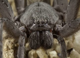 baseball-sized spider discovered in baja california Mexico, Baseball-sized spider discovered in Baja California mine