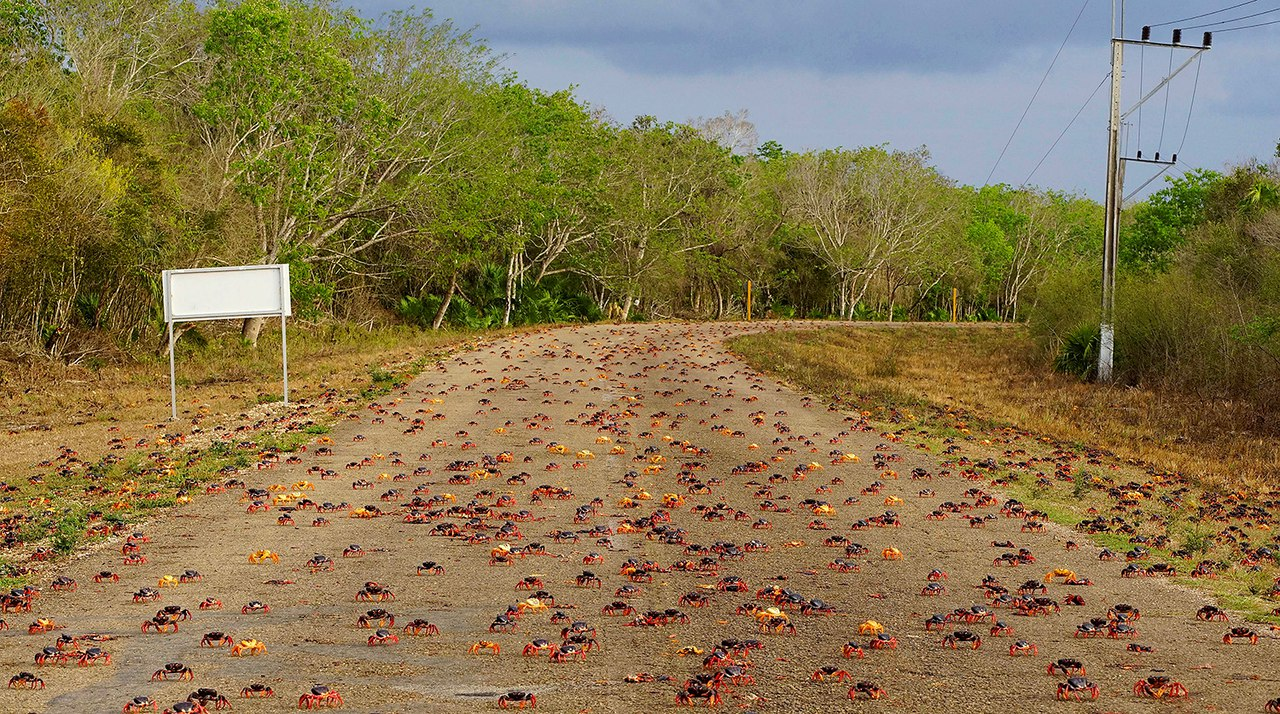 cuba crab migration, cuba crab migration video, cuba crab migration pictures, cuba april crab migration