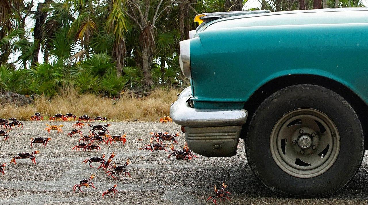 cuba crab migration, cuba crab migration video, cuba crab migration pictures, cuba april crab migration