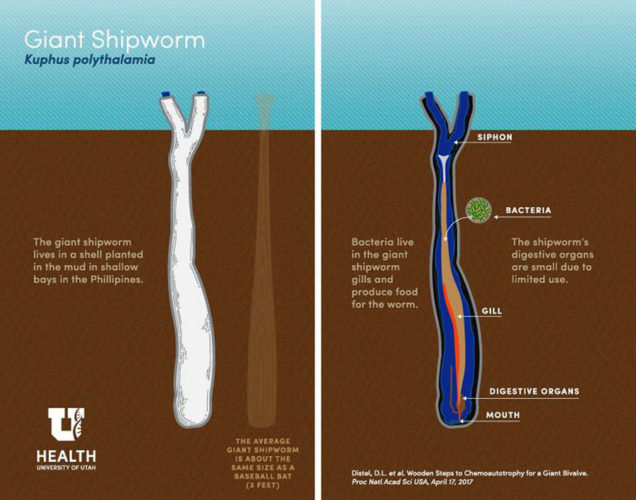 giant shipworm philippines, giant shipworm philippines video, giant shipworm philippines picture, legendary giant shipworm philippines, giant shipworm philippines april 2017