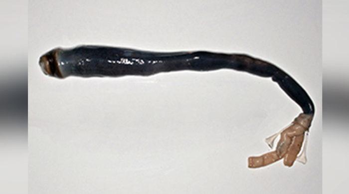 giant shipworm philippines, giant shipworm philippines video, giant shipworm philippines picture, legendary giant shipworm philippines, giant shipworm philippines april 2017