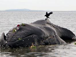 Mysterious spike in humpback whale deaths on US Atlantic Coast, video, Mysterious spike in humpback whale deaths on Atlantic Coast picture, unusual Mysterious spike in humpback whale deaths on Atlantic Coast, humpback whale die-off