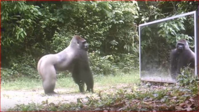 animal mirror jungle behavior, animal mirror jungle behavior video, Animals in Mirrors Hilarious Reactions, Photographer places a mirror in the jungle. This is how animals reacted video, Animals in Mirrors Hilarious Reactions video,