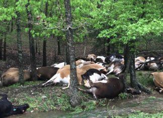 cows struck lightning missouri, 32 cows struck lightning missouri, 32 cows killed by lightning missouri