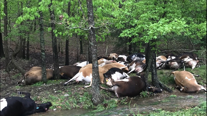 cows struck lightning missouri, 32 cows struck lightning missouri, 32 cows killed by lightning missouri