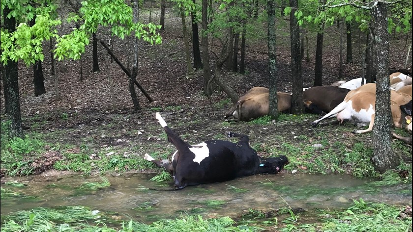 32 cows killed by lightning missouri, cows struck lightning missouri, 32 cows struck lightning missouri, 32 cows killed by lightning missouri
