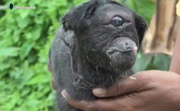 cyclops goat, cyclops goat india, cyclops goat is born in India