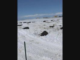 dead cattle colorado storm