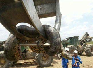 giant snake brazil, largest snake around the world, brazil monster snake