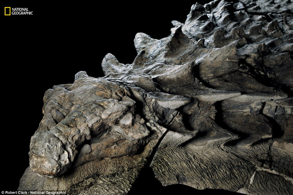 Fossil of newfound species of nodosaur is so well preserved it looks like a statue, dinosaur discovery canada, nodosaur picture, nodosaur,