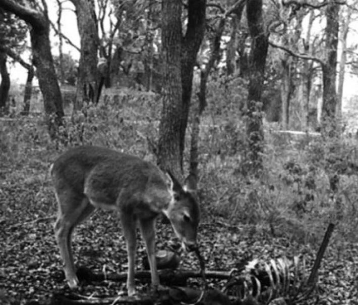white deer eats human, white deer eats human video, white deer eats human flesh, deer eats human, deer eats human flesh