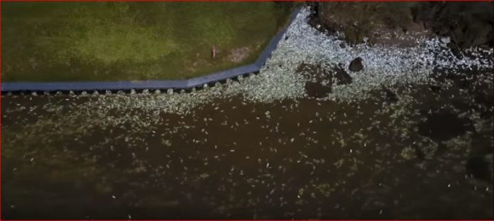 matagorda texas fish die-off, Millions of fish are dying in Matagorda Texas video, massive fish die off Millions of fish are dying in Matagorda Texas video, Millions and Millions of fish are dying in Matagorda Texas