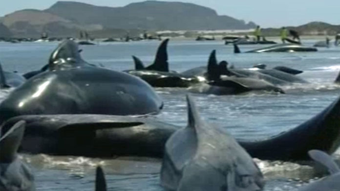 pilot whale rescue sri lanka, 20 pilot whale rescue sri lanka, pilot whale rescue, pilot whale rescue sri lanka, 20 pilot whale rescue sri lanka, pilot whale rescue sri lanka video