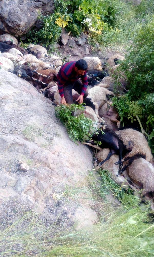 80 sheep suicide turkey, 80 sheep commit suicide in Turkey, 80 sheep commit suicide in Turkey picture, 80 sheep commit suicide in Turkey video