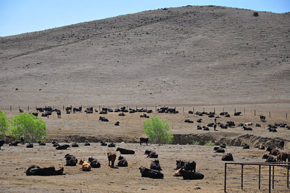 Heat wave leads to the deaths of thousands of cows